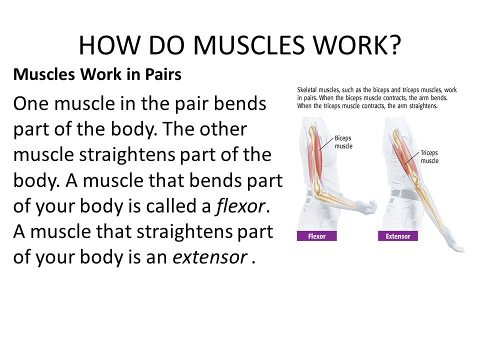 HOW DO MUSCLES WORK? Muscles Work in Pairs One muscle in the pair bends part of the body. The other muscle straightens part of the body. A muscle that
