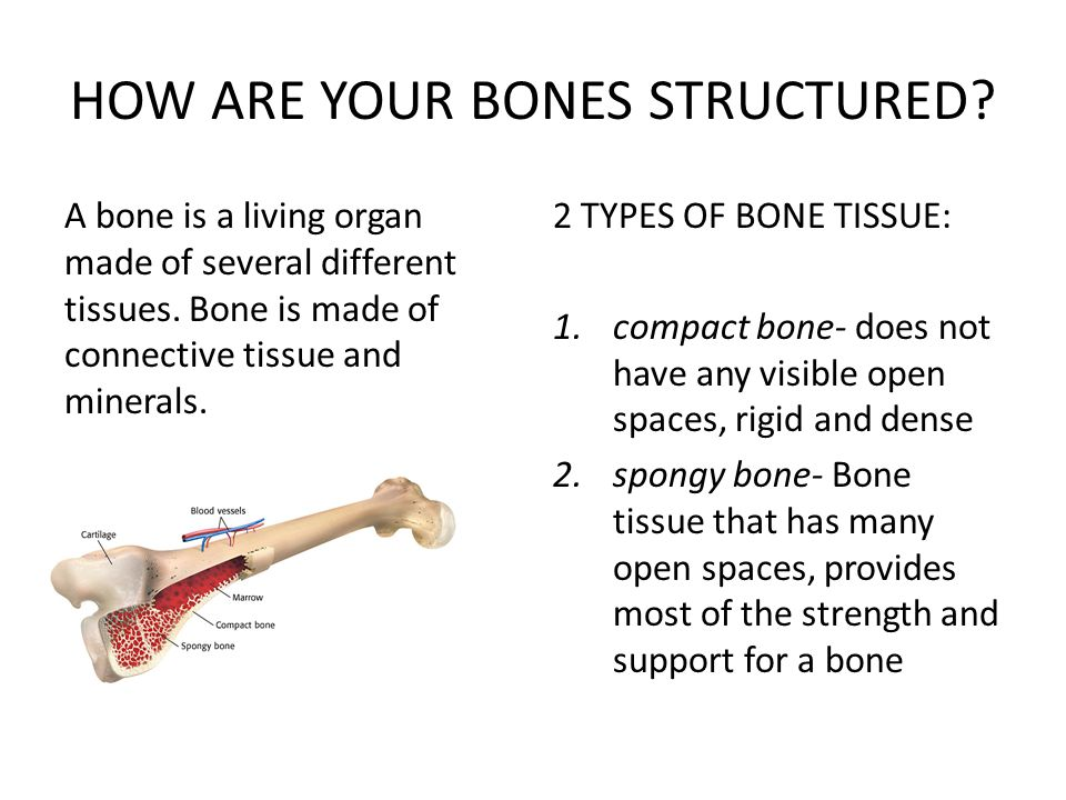 HOW ARE YOUR BONES STRUCTURED? A bone is a living organ made of several different tissues. Bone is made of connective tissue and minerals. 2 TYPES OF