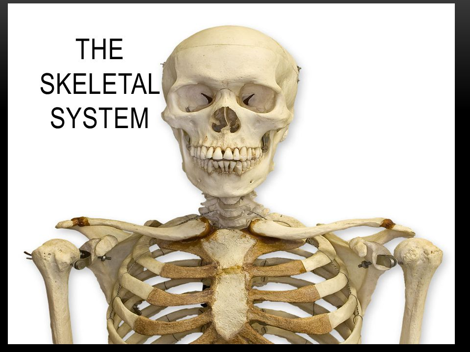 STRUCTURE OF THE SKELETAL SYSTEM  The skeletal system consist of 2 major parts: - Bones - Tissues such as: 1.Tendons 2.
