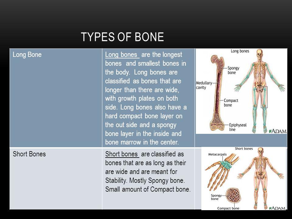 TYPES OF BONE Long BoneLong bones are the longest bones and smallest bones in the body.