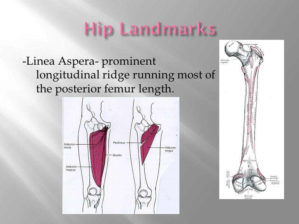 -Linea Aspera- prominent longitudinal ridge running most of the posterior femur length.