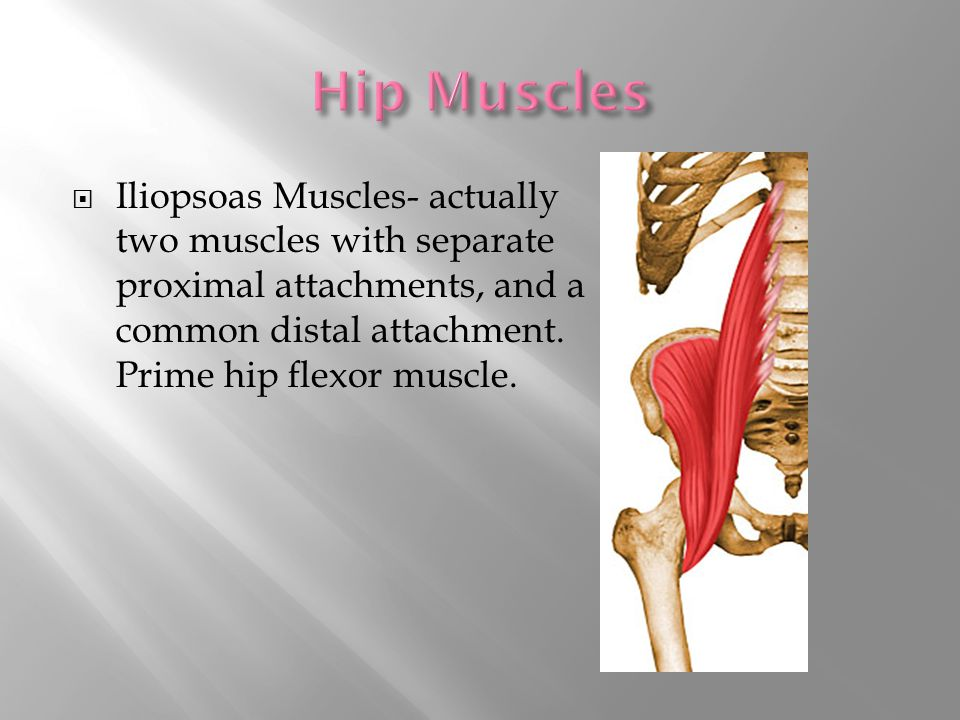  Iliopsoas Muscles- actually two muscles with separate proximal attachments, and a common distal attachment.