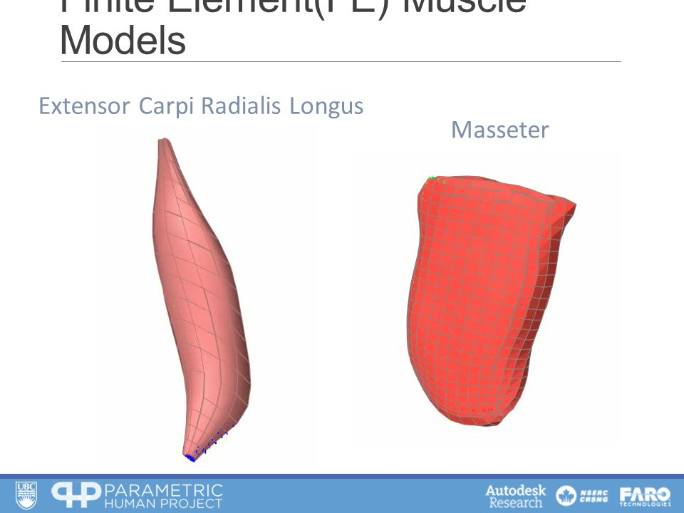 Finite Element(FE) Muscle Models Extensor Carpi Radialis Longus Masseter
