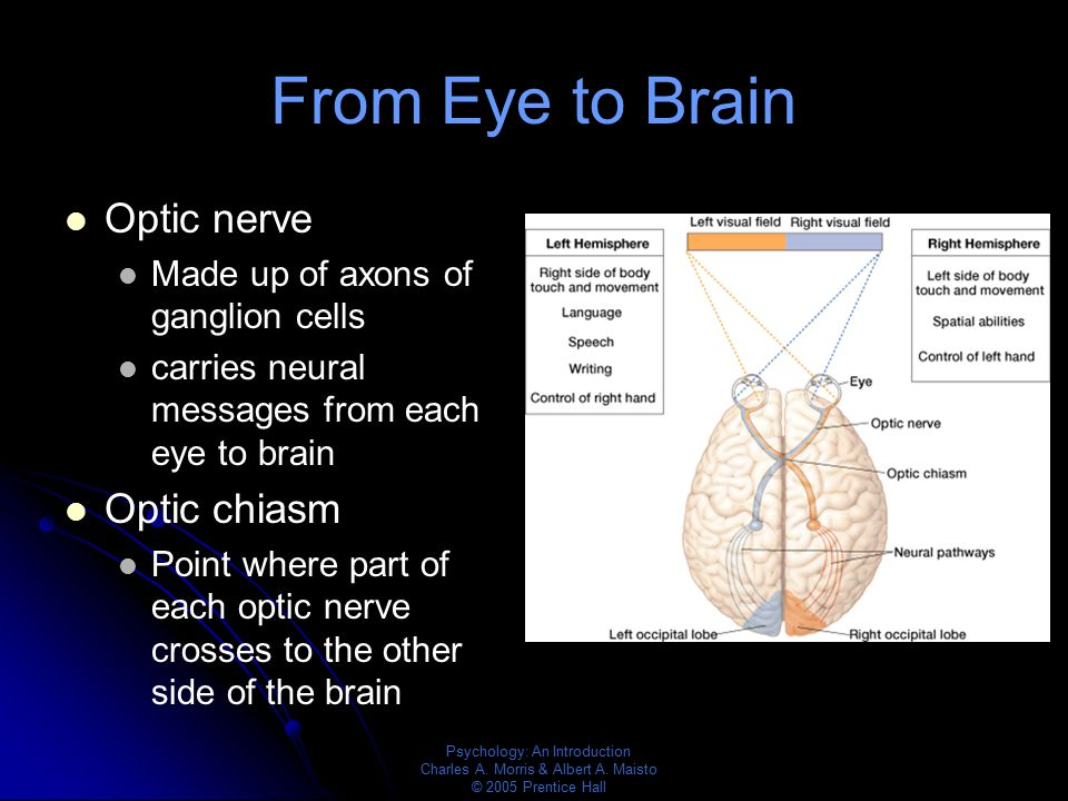 Psychology: An Introduction Charles A. Morris & Albert A. Maisto © 2005 Prentice Hall From Eye to Brain Optic nerve Made up of axons of ganglion cells