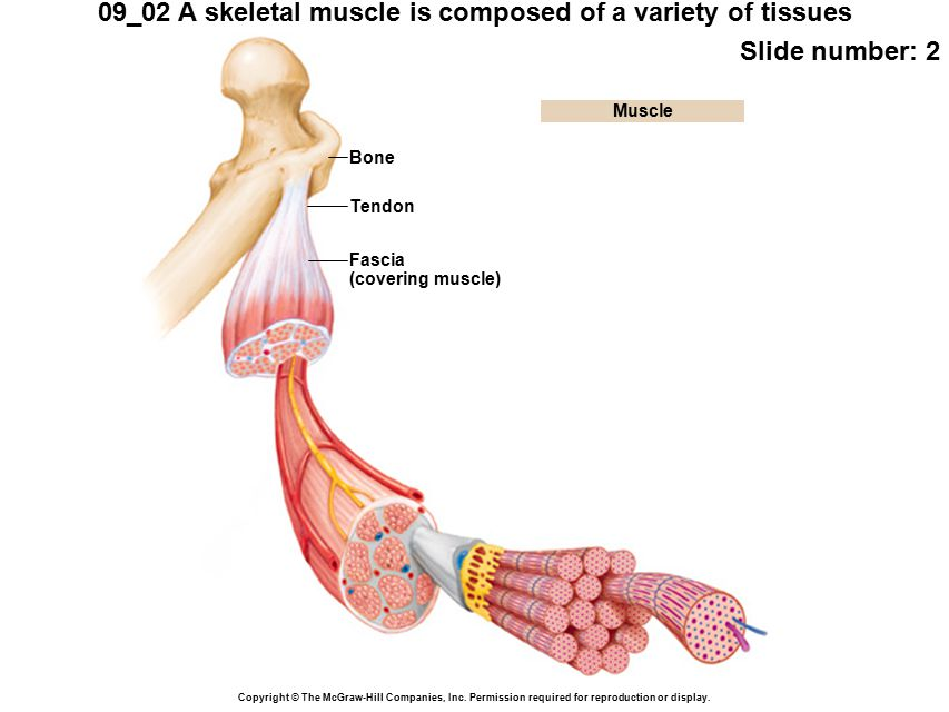 09_02 A skeletal muscle is composed of a variety of tissues Slide number: 2 Copyright © The McGraw-Hill Companies, Inc.