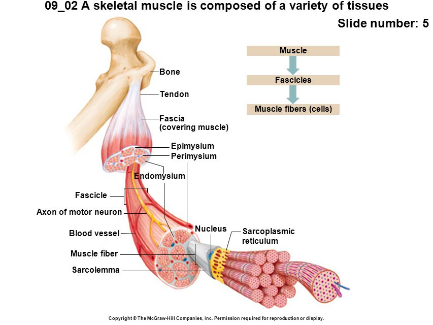 Muscle fibers (cells) Muscle fiber Sarcolemma Nucleus Sarcoplasmic reticulum Fascicles Fascicle Axon of motor neuron Blood vessel 09_02 A skeletal muscle is composed of a variety of tissues Slide number: 5 Copyright © The McGraw-Hill Companies, Inc.