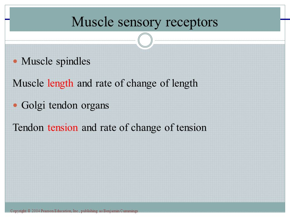 Copyright © 2004 Pearson Education, Inc., publishing as Benjamin Cummings Muscle spindles Muscle length and rate of change of length Golgi tendon organs Tendon tension and rate of change of tension Muscle sensory receptors