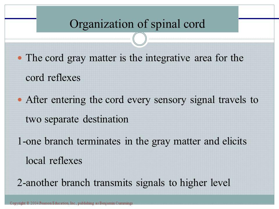 Copyright © 2004 Pearson Education, Inc., publishing as Benjamin Cummings Golgi tendon reflex