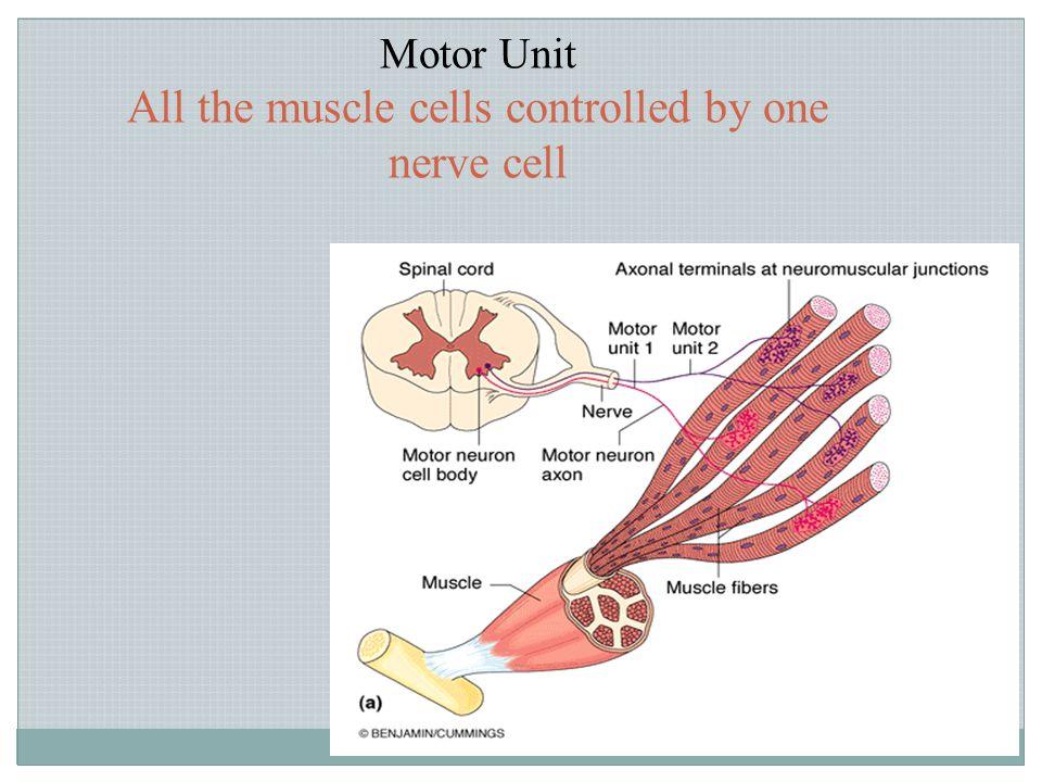 Copyright © 2004 Pearson Education, Inc., publishing as Benjamin Cummings Gamma motor neurons Transmit impulses through much smaller type A gamma Go to intrafusal fibers Anterior motor neurons