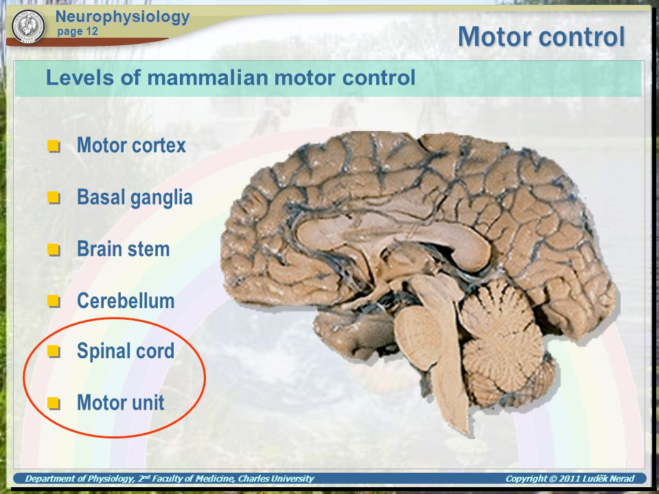 Department of Physiology, 2 nd Faculty of Medicine, Charles University Copyright © 2011 Luděk Nerad Motor control Neurophysiology page 12 Levels of ma