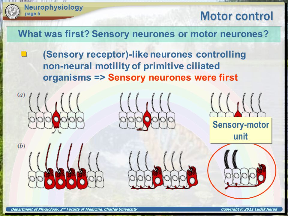 Department of Physiology, 2 nd Faculty of Medicine, Charles University Copyright © 2011 Luděk Nerad Motor control Neurophysiology page 5 What was firs