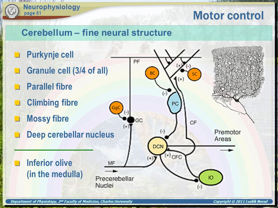 Department of Physiology, 2 nd Faculty of Medicine, Charles University Copyright © 2011 Luděk Nerad Motor control Neurophysiology page 51 Cerebellum –