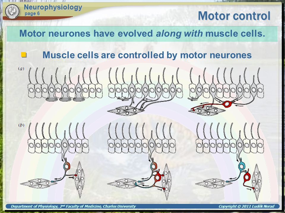 Department of Physiology, 2 nd Faculty of Medicine, Charles University Copyright © 2011 Luděk Nerad Motor control Neurophysiology page 6 Motor neurone