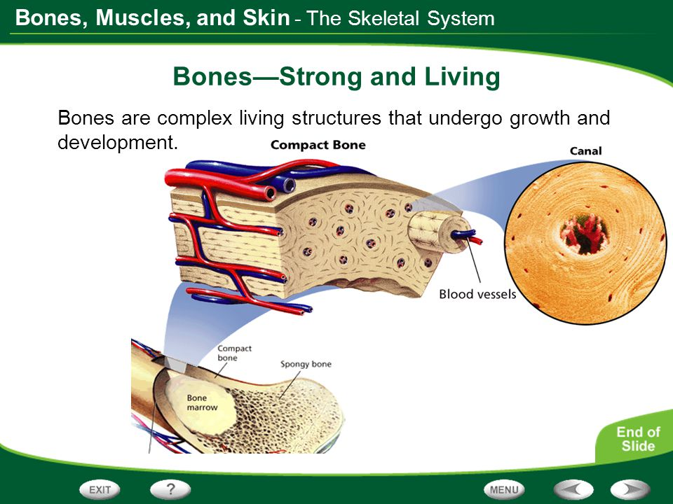 Bones, Muscles, and Skin - The Skeletal System Bones—Strong and Living Bones are complex living structures that undergo growth and development.