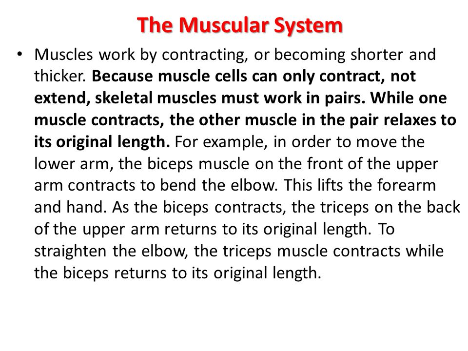The Muscular System Muscles work by contracting, or becoming shorter and thicker. Because muscle cells can only contract, not extend, skeletal muscles