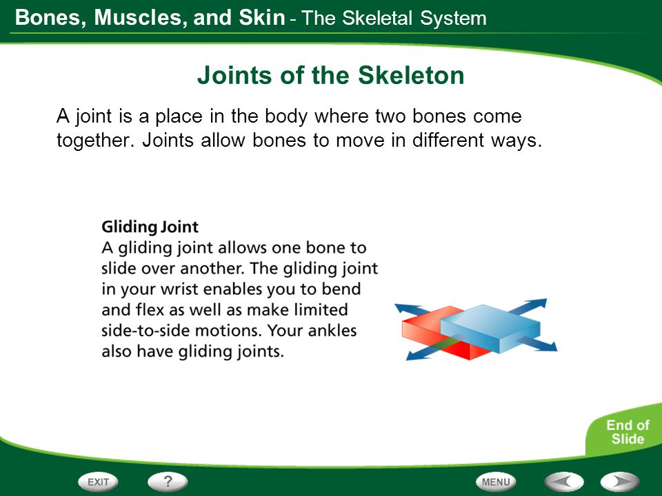 Bones, Muscles, and Skin - The Skeletal System Joints of the Skeleton A joint is a place in the body where two bones come together. Joints allow bones