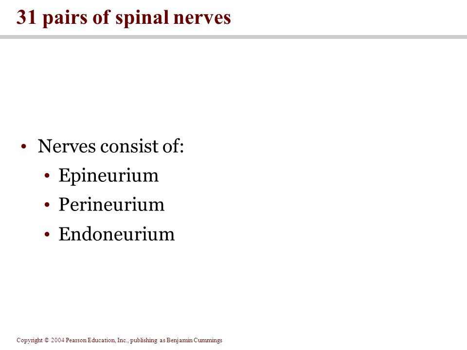 Copyright © 2004 Pearson Education, Inc., publishing as Benjamin Cummings Nerves consist of: Epineurium Perineurium Endoneurium 31 pairs of spinal nerves