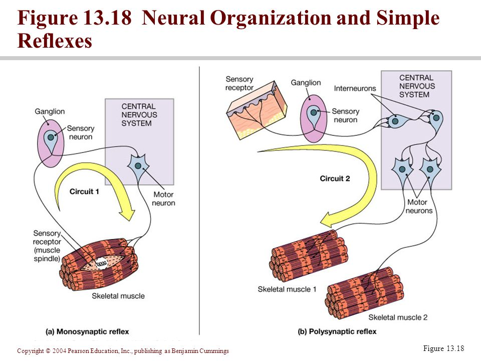 Copyright © 2004 Pearson Education, Inc., publishing as Benjamin Cummings Figure 13.18 Neural Organization and Simple Reflexes Figure 13.18