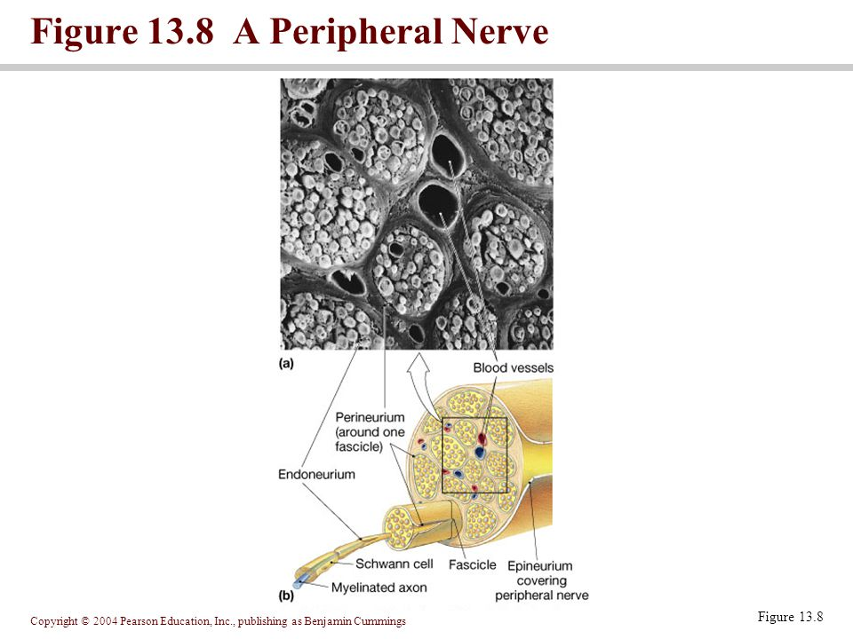 Copyright © 2004 Pearson Education, Inc., publishing as Benjamin Cummings Figure 13.8 A Peripheral Nerve Figure 13.8