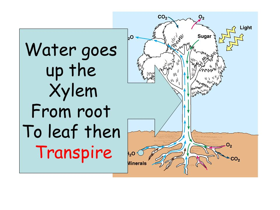 Phototropism The shoots (aerial parts) of a plant grow towards light due to phototropism.