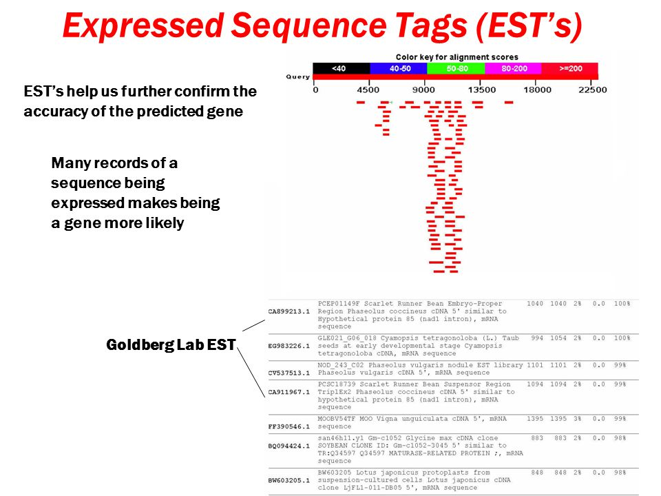 Expressed Sequence Tags (EST's) EST's help us further confirm the accuracy of the predicted gene Many records of a sequence being expressed makes being a gene more likely Goldberg Lab EST