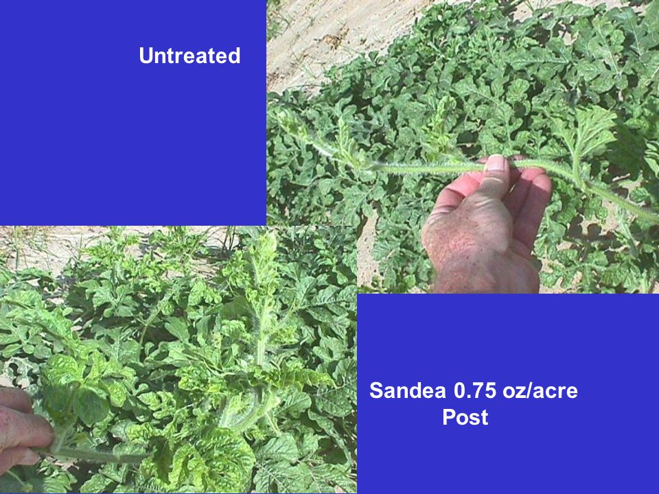 Untreated Sandea 0.75 oz/acre Post