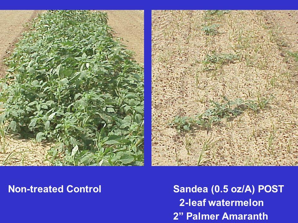 Non-treated Control Sandea (0.5 oz/A) POST 2-leaf watermelon 2 Palmer Amaranth
