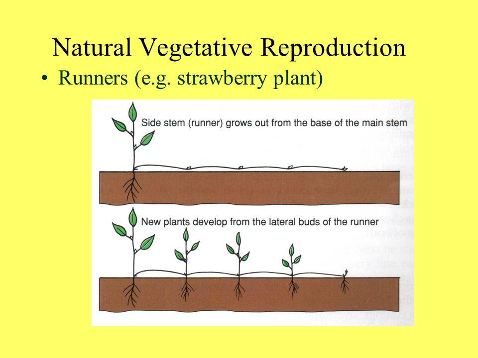 Runners (e.g. strawberry plant) Natural Vegetative Reproduction