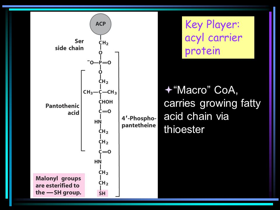Key Player: acyl carrier protein  Macro CoA, carries growing fatty acid chain via thioester