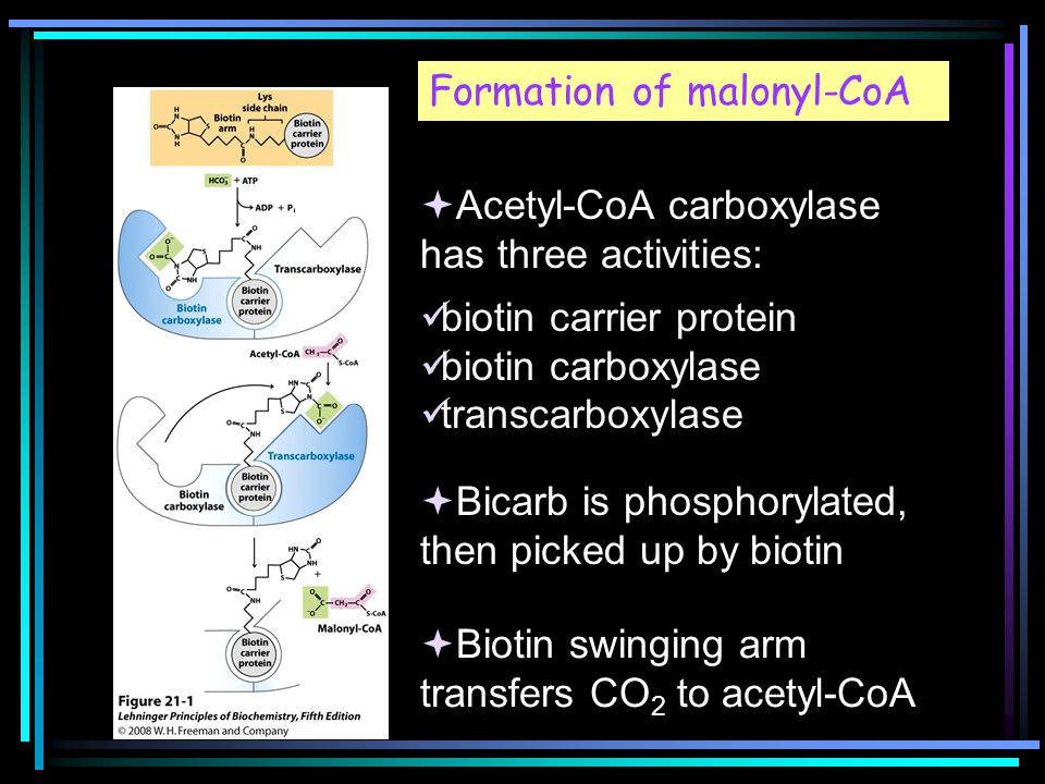 Formation of malonyl-CoA  Acetyl-CoA carboxylase has three activities: biotin carrier protein biotin carboxylase transcarboxylase  Bicarb is phosphorylated, then picked up by biotin  Biotin swinging arm transfers CO 2 to acetyl-CoA