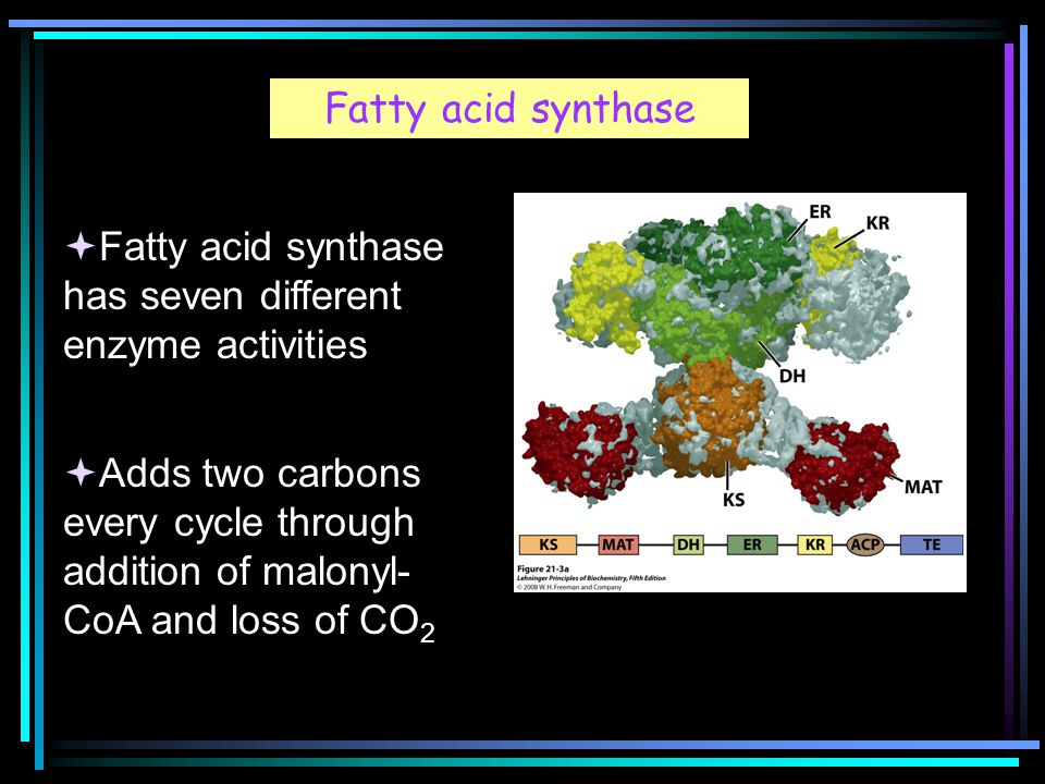 Fatty acid synthase  Fatty acid synthase has seven different enzyme activities  Adds two carbons every cycle through addition of malonyl- CoA and loss of CO 2
