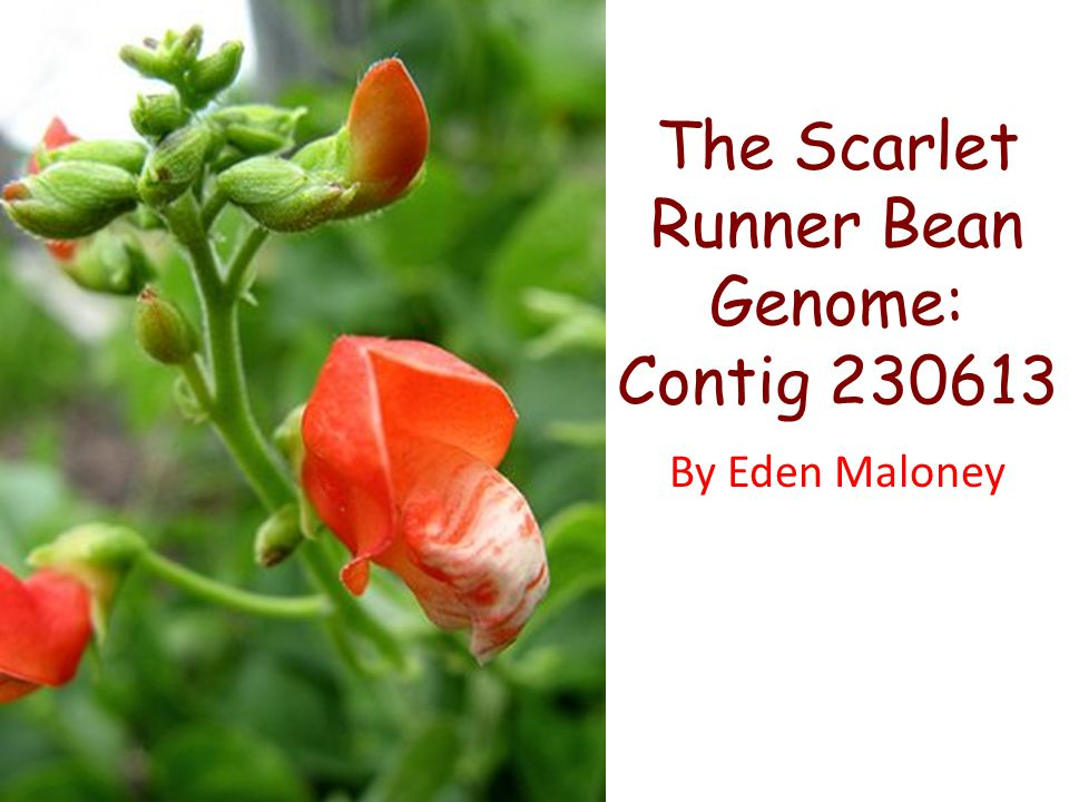 The Scarlet Runner Bean Genome: Contig 230613 By Eden Maloney