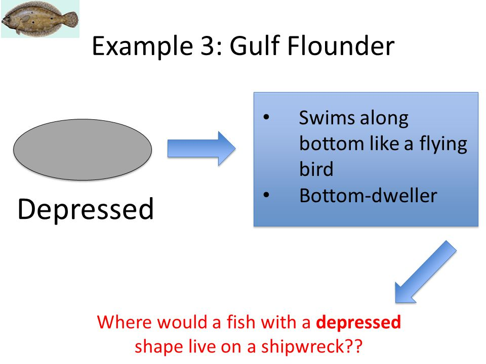 Depressed Swims along bottom like a flying bird Bottom-dweller Example 3: Gulf Flounder Where would a fish with a depressed shape live on a shipwreck?