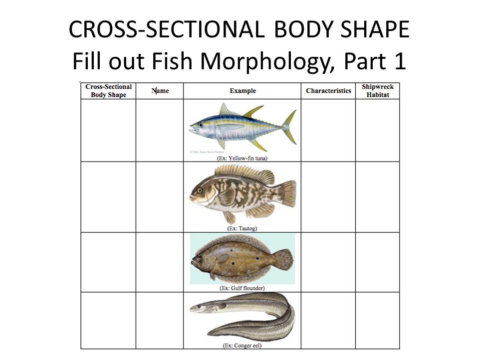 Anguilliform Example 4: Conger Eel