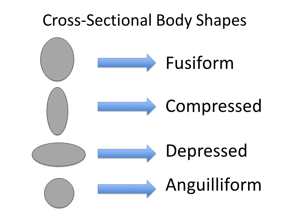 Cross-Sectional Body Shapes Depressed Anguilliform Compressed Fusiform