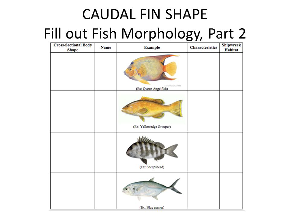 CAUDAL FIN SHAPE Fill out Fish Morphology, Part 2