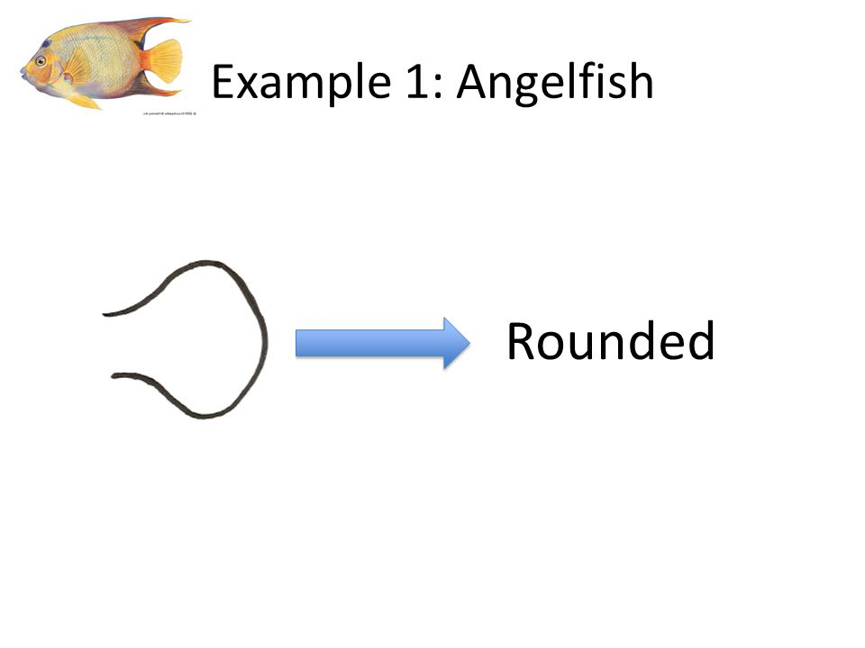 Rounded Example 1: Angelfish