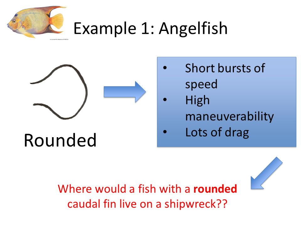 Short bursts of speed High maneuverability Lots of drag Rounded Example 1: Angelfish Where would a fish with a rounded caudal fin live on a shipwreck?