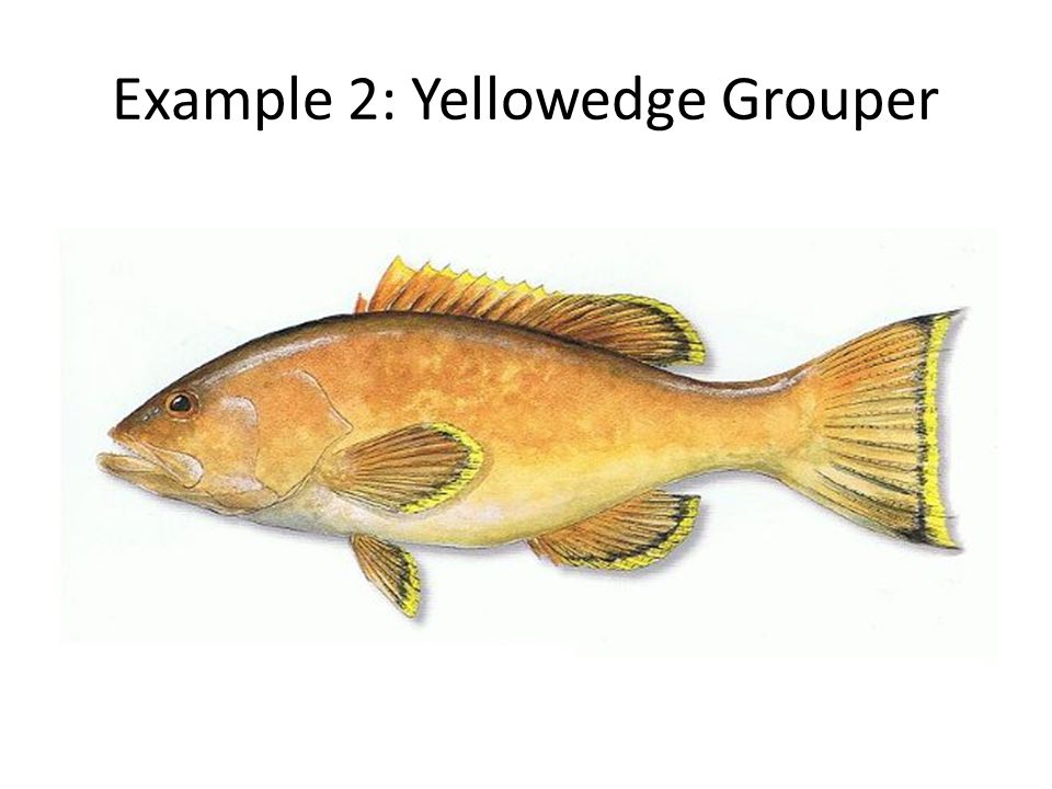 Example 2: Yellowedge Grouper