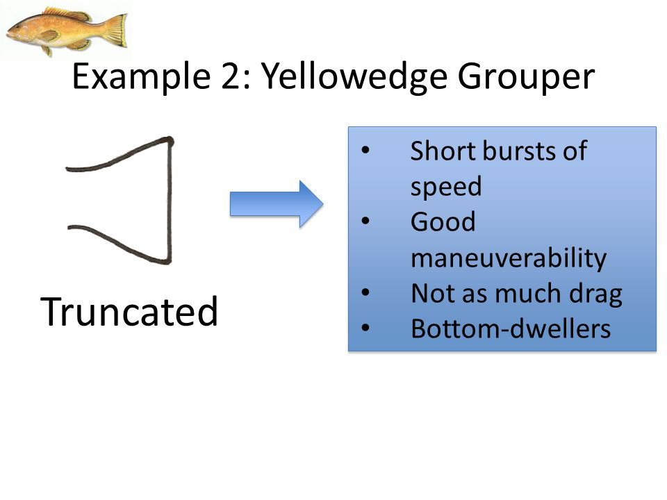 Short bursts of speed Good maneuverability Not as much drag Bottom-dwellers Truncated Example 2: Yellowedge Grouper
