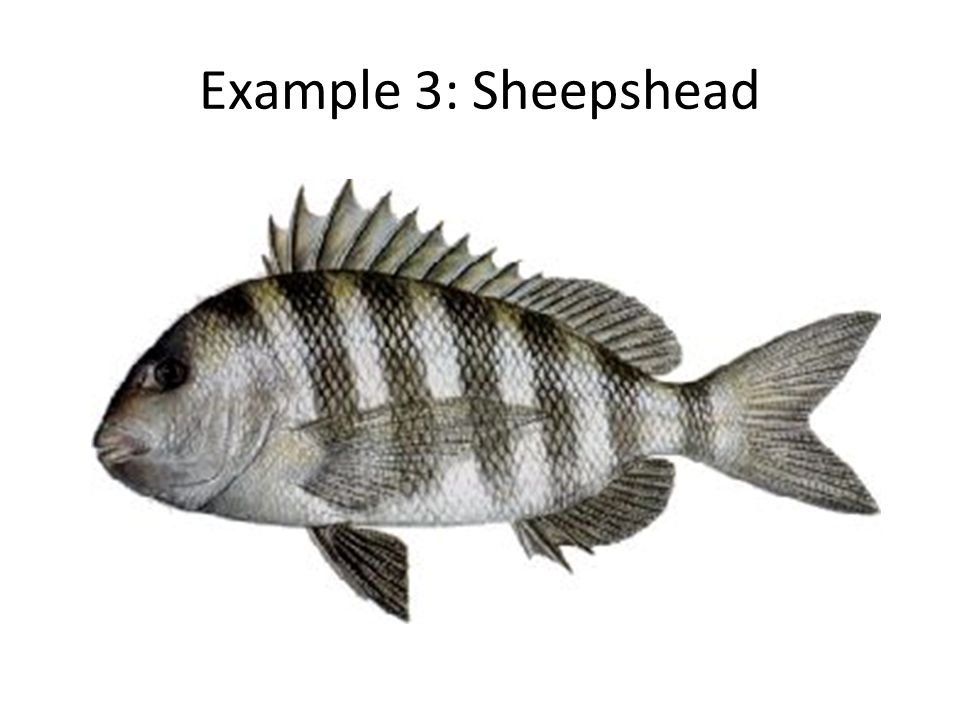 Example 3: Sheepshead