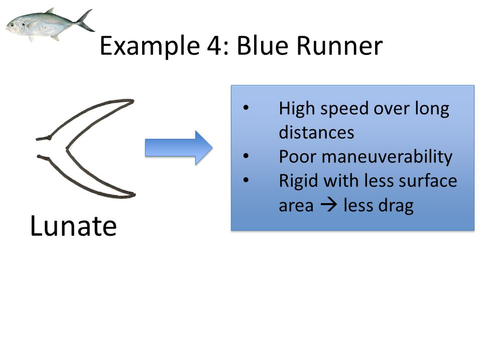 High speed over long distances Poor maneuverability Rigid with less surface area  less drag Lunate Example 4: Blue Runner
