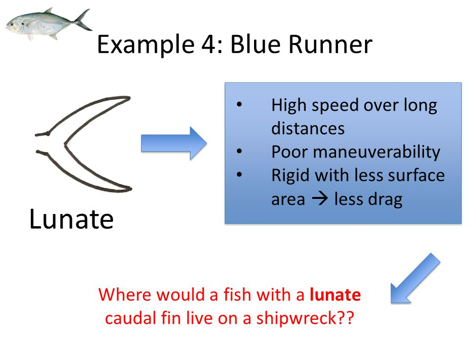 High speed over long distances Poor maneuverability Rigid with less surface area  less drag Lunate Example 4: Blue Runner Where would a fish with a lunate caudal fin live on a shipwreck