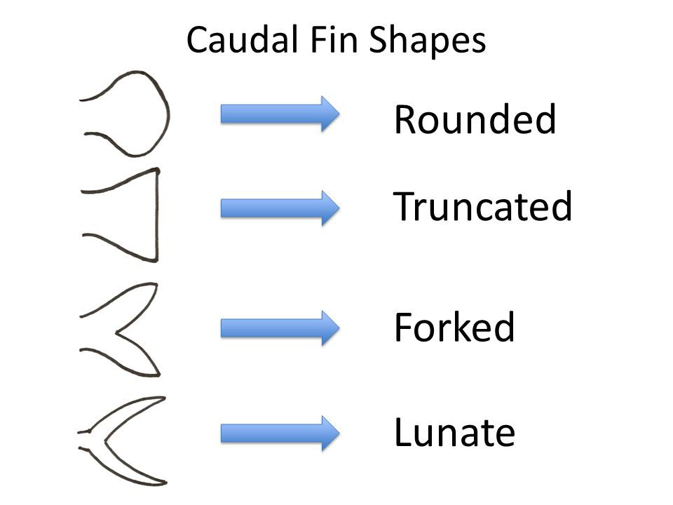 Caudal Fin Shapes Forked Lunate Truncated Rounded