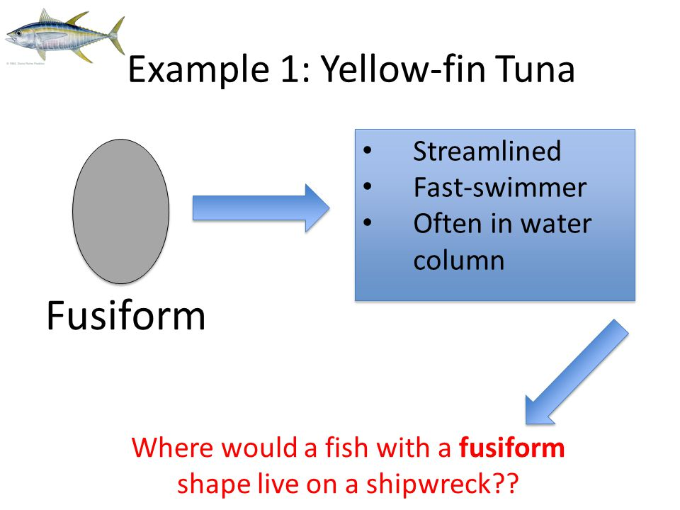 Example 1: Yellow-fin Tuna Fusiform Streamlined Fast-swimmer Often in water column Where would a fish with a fusiform shape live on a shipwreck??