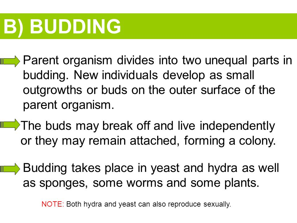 B) BUDDING Parent organism divides into two unequal parts in budding.