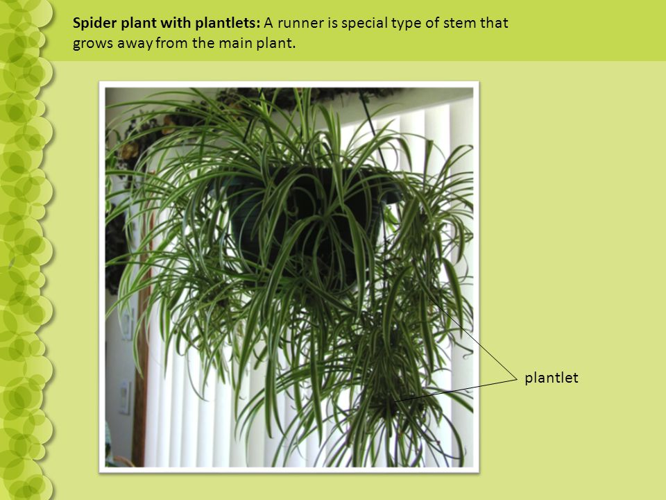 Spider plant with plantlets: A runner is special type of stem that grows away from the main plant. plantlet