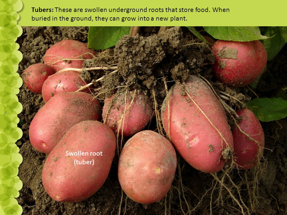 Tubers: These are swollen underground roots that store food.