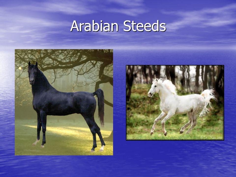 Arabian Steeds