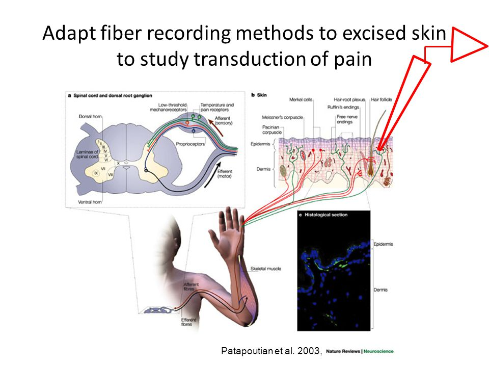 Adapt fiber recording methods to excised skin to study transduction of pain Patapoutian et al.